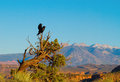 Common raven corvus corax two ravens in arches national park with the la sal mountains in the background Royalty Free Stock Images