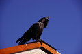 Common raven, on roof in early morning Royalty Free Stock Photo