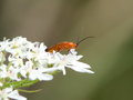 A Common Red Soldier beetle. Royalty Free Stock Photo