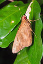 Common redeye butterfly close up of matapa aria or skipper clinging on green leaf Stock Images