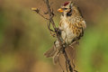 Common redpoll a very nice light and tame bird is pleasure for every photographer a in the autumn light Stock Photo