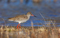 Common redshank Stock Photography
