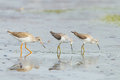 Common redshank tringa totanus and two of marsh sandpiper finding food on shore Stock Image