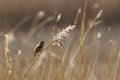 Common reed bunting singing loud and clear Stock Photography