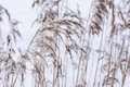 Common reed in icy cold winter. Frosty straw. Freeze temperatures in nature Royalty Free Stock Photo