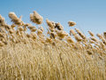 Common reed (phragmites australis) in the wind Royalty Free Stock Images