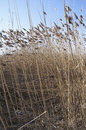 Common reed phragmites australus australis in winter wetland Royalty Free Stock Image