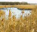 Common reed phragmites autumn background Stock Image