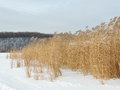 Common reed in winter phragmites the on river bank Stock Images