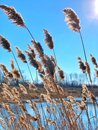 Common reeds Royalty Free Stock Photo