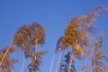 Common reeds on windy day some Royalty Free Stock Image
