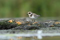 Common ringed plover charadrius hiaticula in the natural enviroment Royalty Free Stock Images