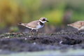 Common ringed plover charadrius hiaticula in the natural enviroment Royalty Free Stock Image