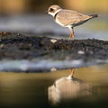 Common ringed plover charadrius hiaticula in the natural enviroment Stock Photography
