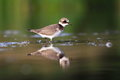 Common ringed plover charadrius hiaticula in the natural enviroment Royalty Free Stock Photography