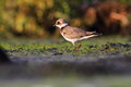 Common ringed plover charadrius hiaticula in the natural enviroment Stock Image
