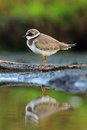 Common ringed plover charadrius hiaticula plove in the natural enviroment Royalty Free Stock Photo