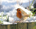 Common robin at wintertime british wildlife looking for food Stock Photography