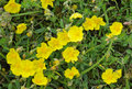 Common rock rose helianthemum nummularium group of flowers Stock Photo
