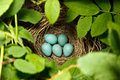 Common Rosefinch. Nest of a bird. Royalty Free Stock Image