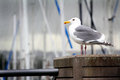 Common Seagull