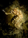 Common seahorse hippocampus taeniopterus tropical coral reef Royalty Free Stock Photo