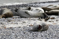Common seal colony at the beach Royalty Free Stock Photo