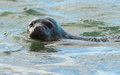 Common seal in the ocean Royalty Free Stock Photo