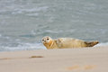 Common seal phoca vitulina near the water Royalty Free Stock Photography