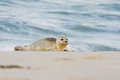 Common seal phoca vitulina near the water Stock Image