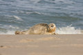 Common seal phoca vitulina near the water Royalty Free Stock Photos