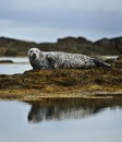 Common seal resting on the rocky coast Royalty Free Stock Image