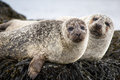 Common Seals Royalty Free Stock Photo