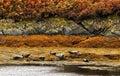Common seals, (Phoca vitulina) Scotland Royalty Free Stock Photo