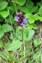 Common self heal or heal all prunella vulgaris in the meadow Stock Image