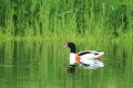 Common shelduck the floating Stock Photography