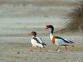 Common shelduck tadorna tadorna family Royalty Free Stock Photo