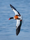 Common shelduck tadorna tadorna in flight with blue water in the background Stock Images
