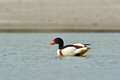 Common shelduck tadorna tadorna on the lake Stock Photography