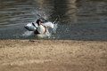 Common shelduck washing in water Royalty Free Stock Photos