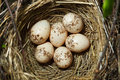 Common Shrike, Lanius collurio. Nest with eggs Royalty Free Stock Photos