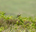 Common Skylark on Bracken Royalty Free Stock Images
