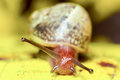 Common snail mollusk against yellow background focus on the eyes shallow depth of field Royalty Free Stock Photography