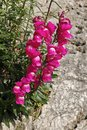Common snapdragon plant grew up on a rock wall Royalty Free Stock Photo