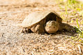 Common snapping turtle chelydra serpentina Stock Photos