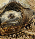 Common snapping turtle close up of face Royalty Free Stock Images