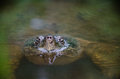 Common snapping turtle peeking out of pond water looking for a meal Stock Photos