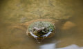 Common snapping turtle peeking out of pond water looking for a meal Royalty Free Stock Image
