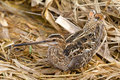 Common snipe among a bog in the spring Stock Photo