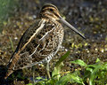 Common Snipe (Capella gallinag Royalty Free Stock Images